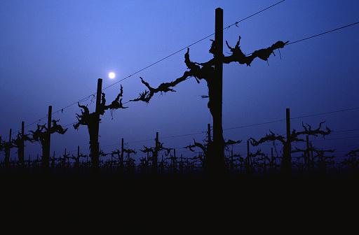 La viticoltura in armonia con la Luna