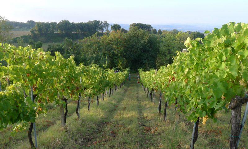 Bianchello del Metauro: un vino che si fa bere